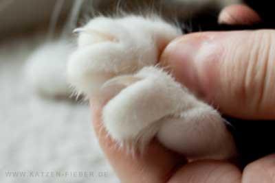 ausgefahrene Katzenkrallen