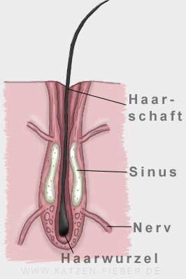 Tasthaar mit den verbundenen Nervensträngen