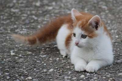 bicolor Katze