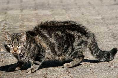 Katze in Agriffsstellung