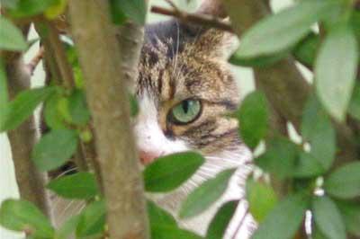 Katze schaut durch Strauch