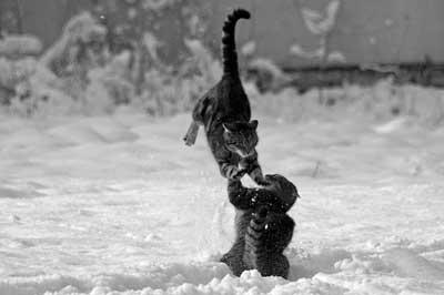 spielende Katzen im Schnee
