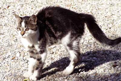 Katze mit Katzenbuckel