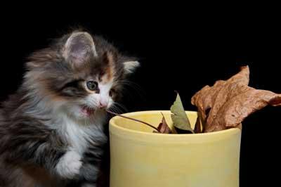 Kitten spielt mit Laub