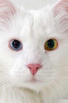 weiße Katze mit Iris-Heterochromie