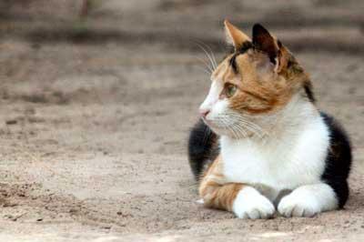 Tricolor Katze