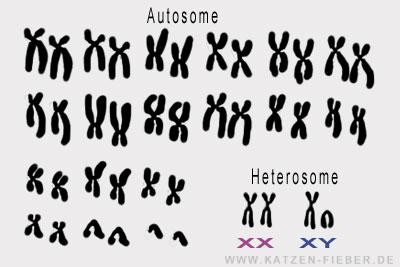 Katze Autosome und Heterosome (Geschlechtschromosomen)