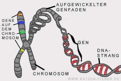 chromosomen bestehend aus Genfäden und DNA