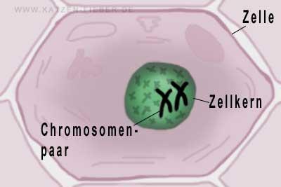 Zelle mit Zellkern und darin liegenden Chromosomen