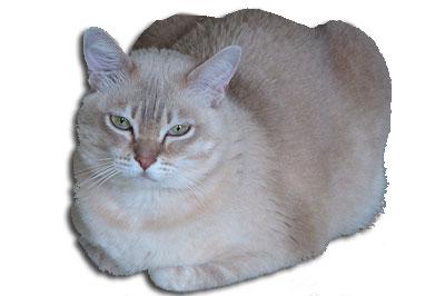 katzenrassen 220bersicht