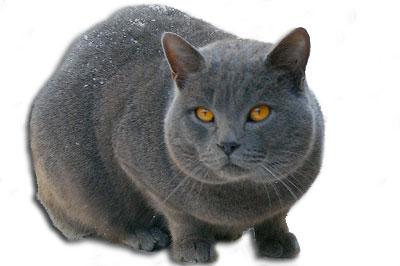 Chartreux Katze