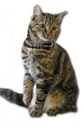 Europäische Kurzhaar Katze