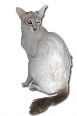 Javanesen-Katze
