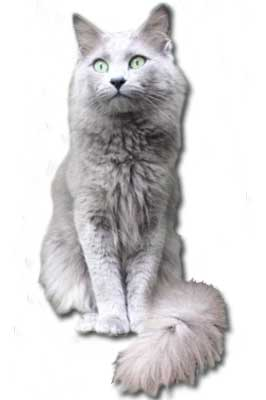 Nebelung Katze