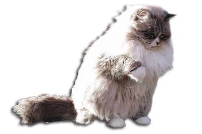Neva Masquerade Katze
