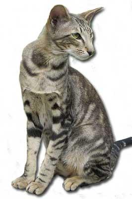 Orientalisch Kurzhaar-Katze