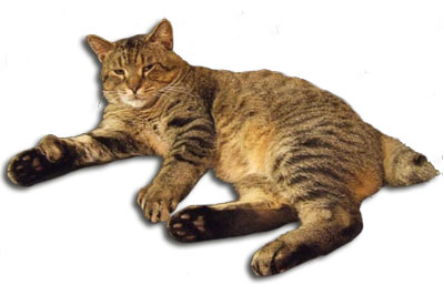 Pixibob Katze