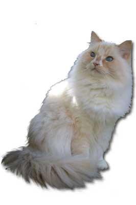Raggamuffin Katze