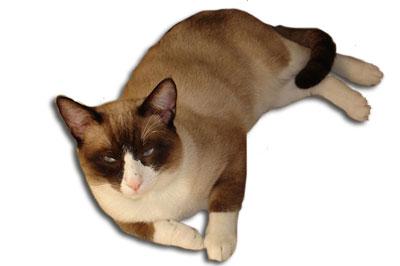 Snowshoe Katze