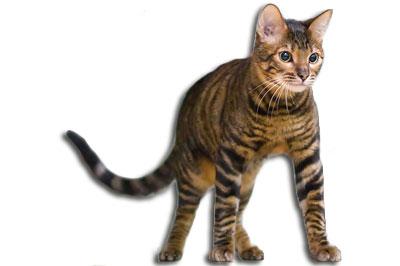 Toyger Katze